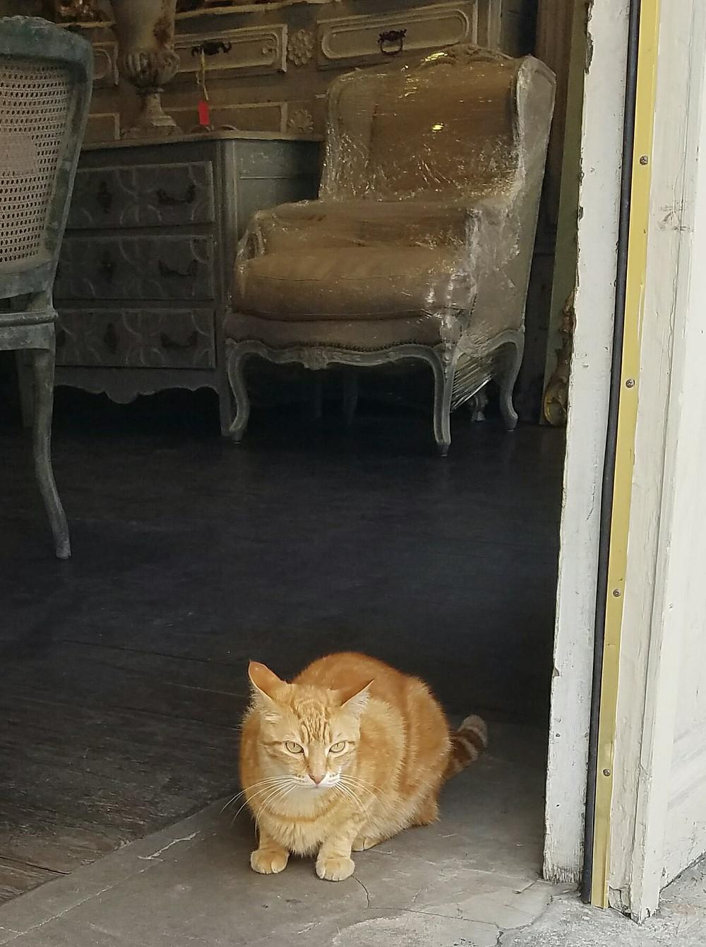 orange cat in NOLA shop