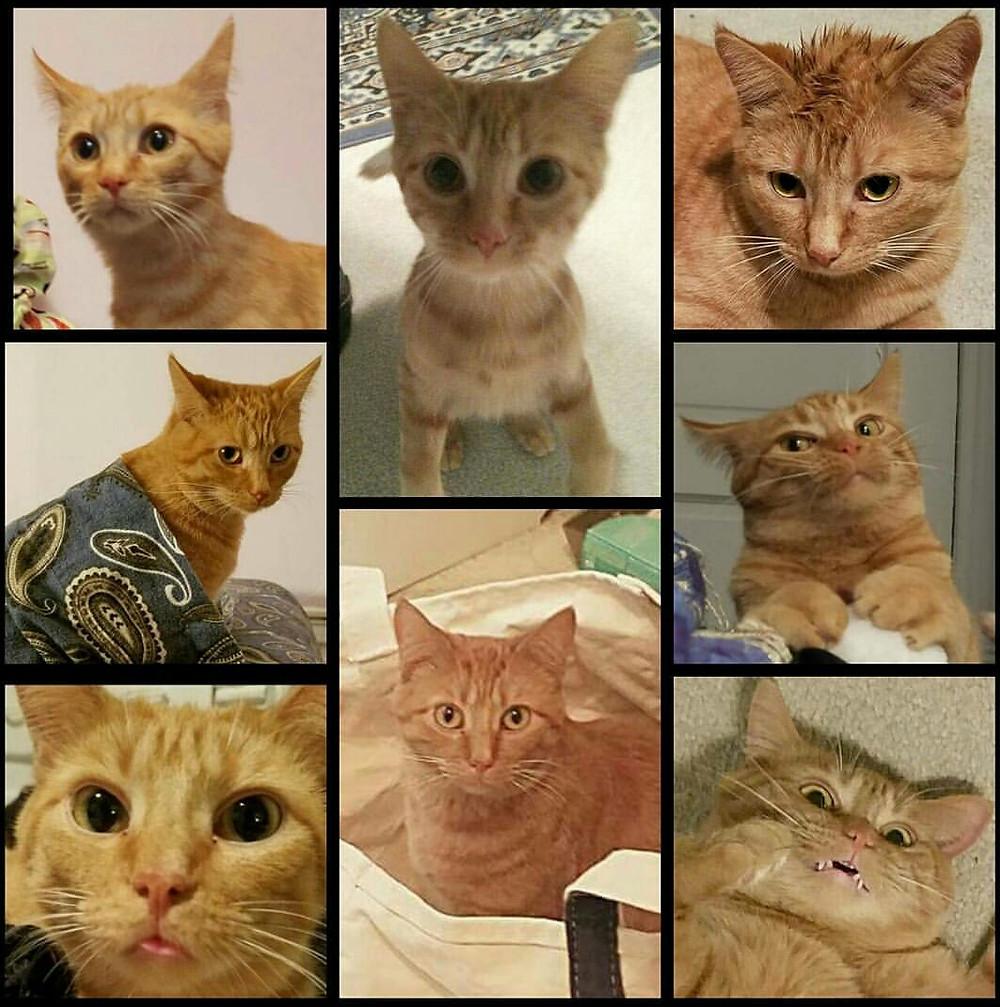 Orange tabby cat collage