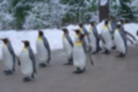 king-penguin-1154432_1920.jpg