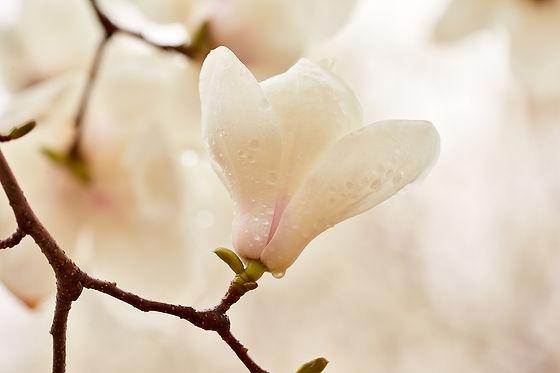 —Pngtree—macro photography of wangchun magnolia_1317213.jpg