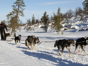 Born to Run: Dogsledding in the Arctic Circle in Finland