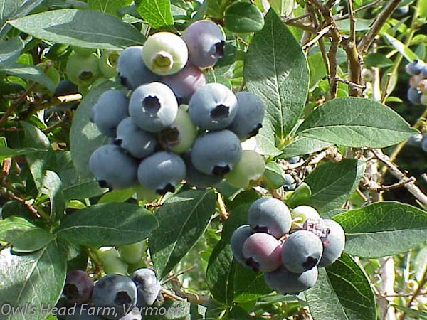 Blueberries almost ready for picking