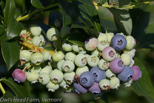 Berries ripening on the bush