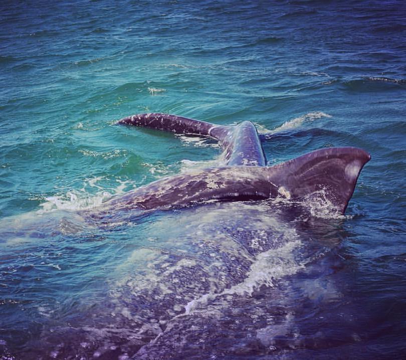 Cola ballena gris