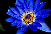 lotus 3_edited.jpg