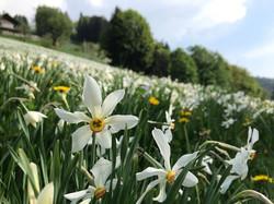 Narcisses 1