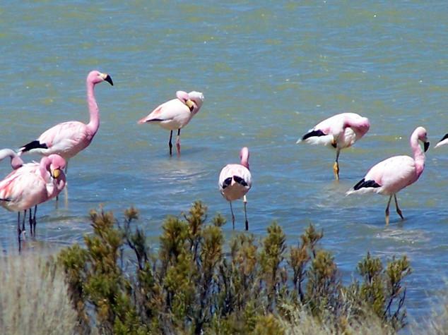 Surire - Flamingos