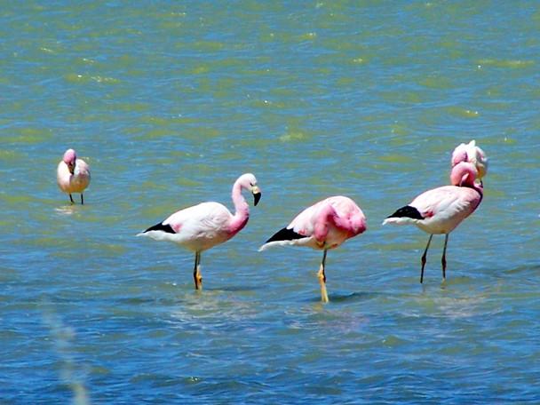 Surire flamingos