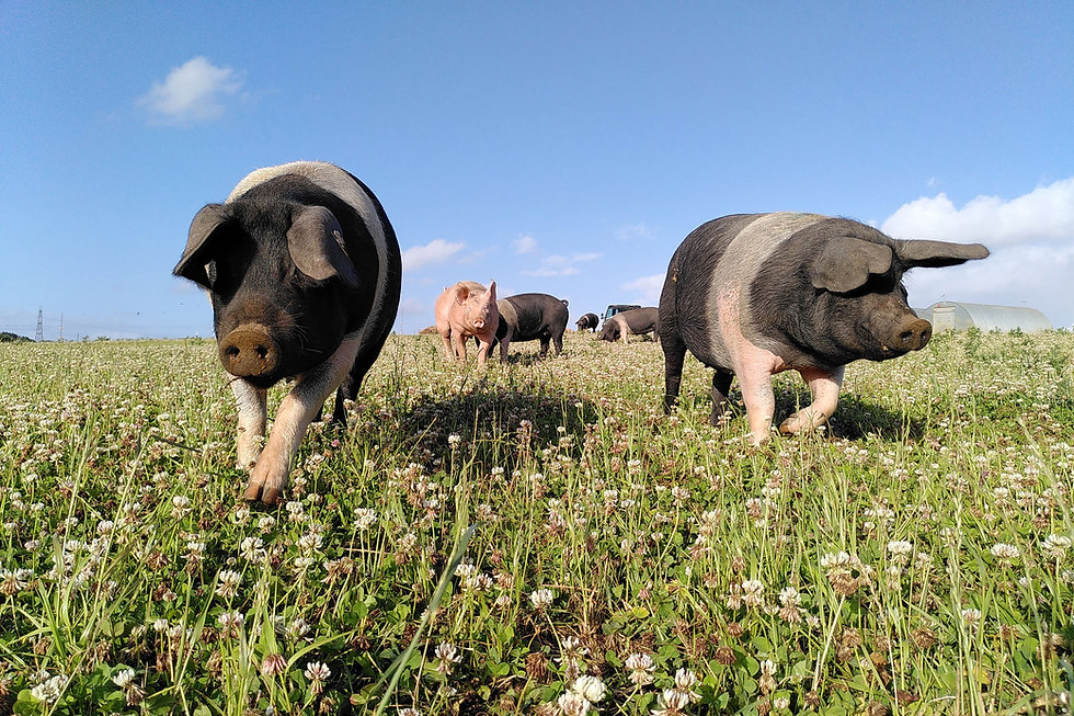 freerange saddleback pigs in organic field