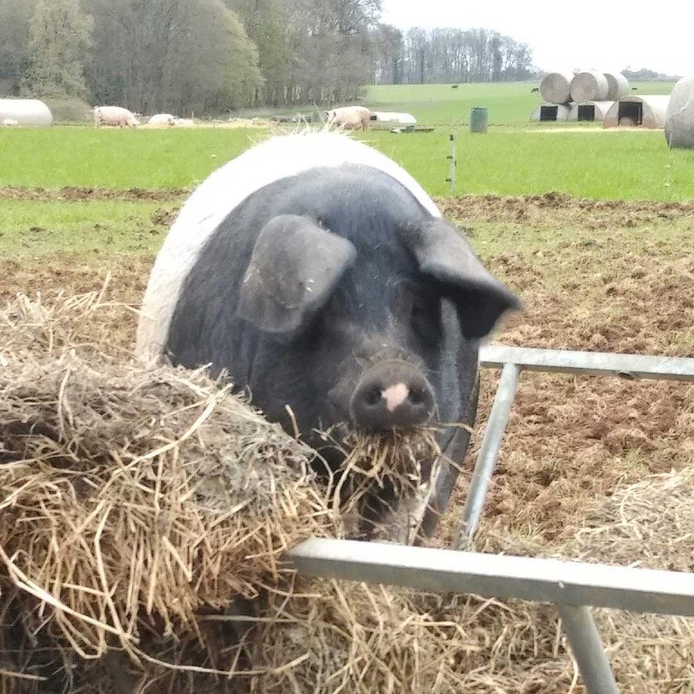 Saddleback Pig eating