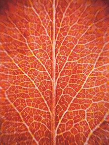 Addison-E-Red Leaf no.1.jpg