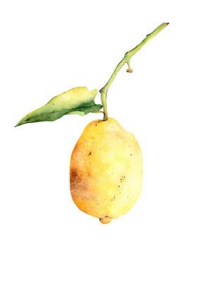 Lemon of Amalfi by Lyubov Fonareva