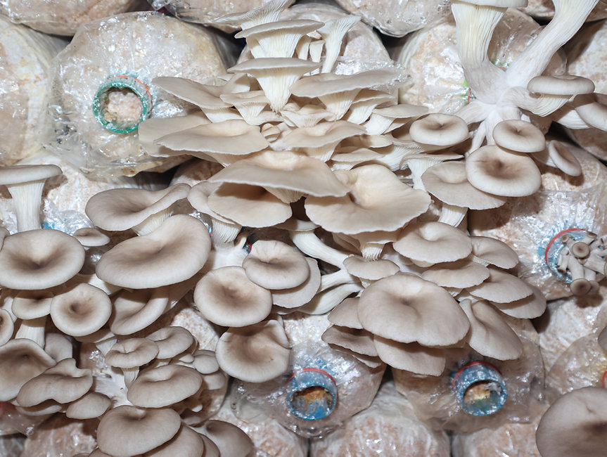 Angel Mushrooms in the mushroom house growing in the plastic bag.jpg