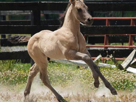 ~SOLD~ Ultimate Bulldog Foundation Quarter Horse Colt