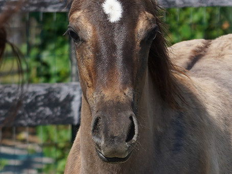 ~FOR SALE~ Cerulean Smokin Zzz, Outstanding All Around Foundation Quarter Horse Filly