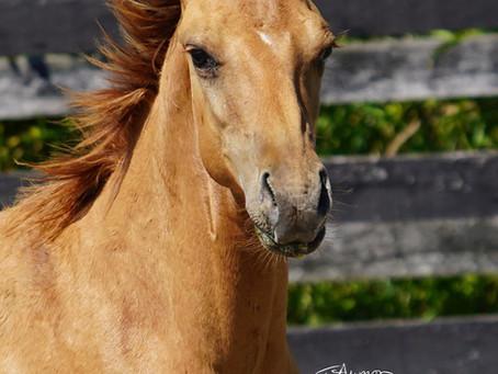 ~SOLD~ Cerulean Poco Rip, Bulldog Foundation Quarter Horse Colt