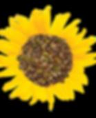 Ella's Flat Sunflower