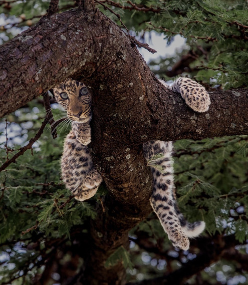 LEOPARD CUB – Andy Howe