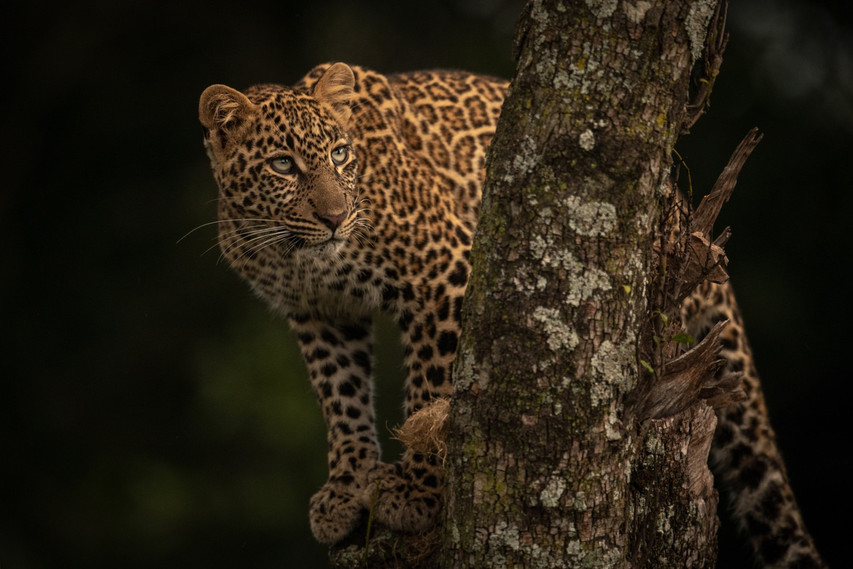 LEOPARD LOOKS UP FROM PERCH IN TREE – Nick Dale