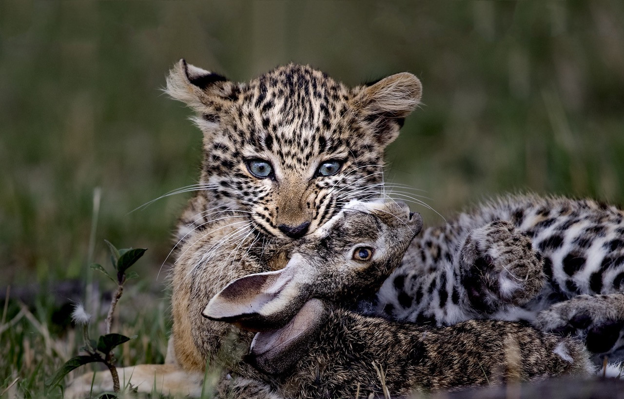 LEOPARD CUB - Andy Howe
