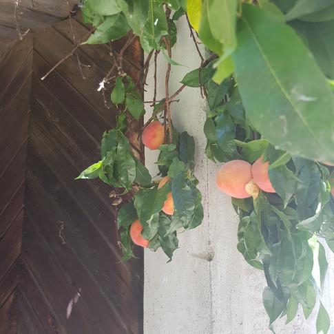 Pfirsiche an der alten Scheune