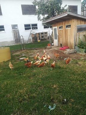 Glückliche Hühner