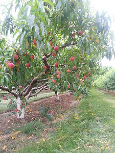 loaded peach tree.jpg