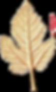 fig leaf cast impression