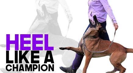 IGP heeling teaching schutzhund style flashy heeling.