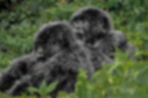 Gorilla-Raemonde-a.jpg