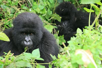 Mountain Gorilla Conservation Society