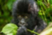 Baby Gorilla copy.jpg