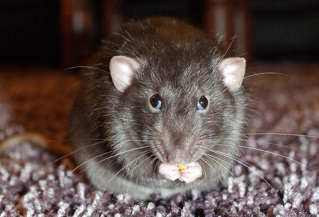 rat eat.jpg