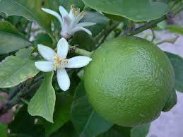 Citrus aurentifolia