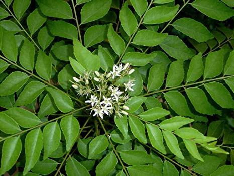 Lonashi planta.jpg