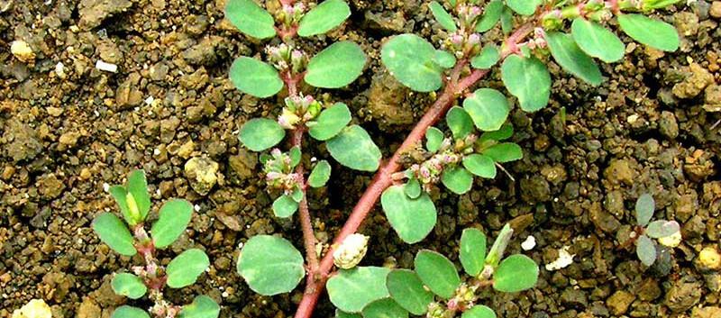 Madhukara planta.jpg