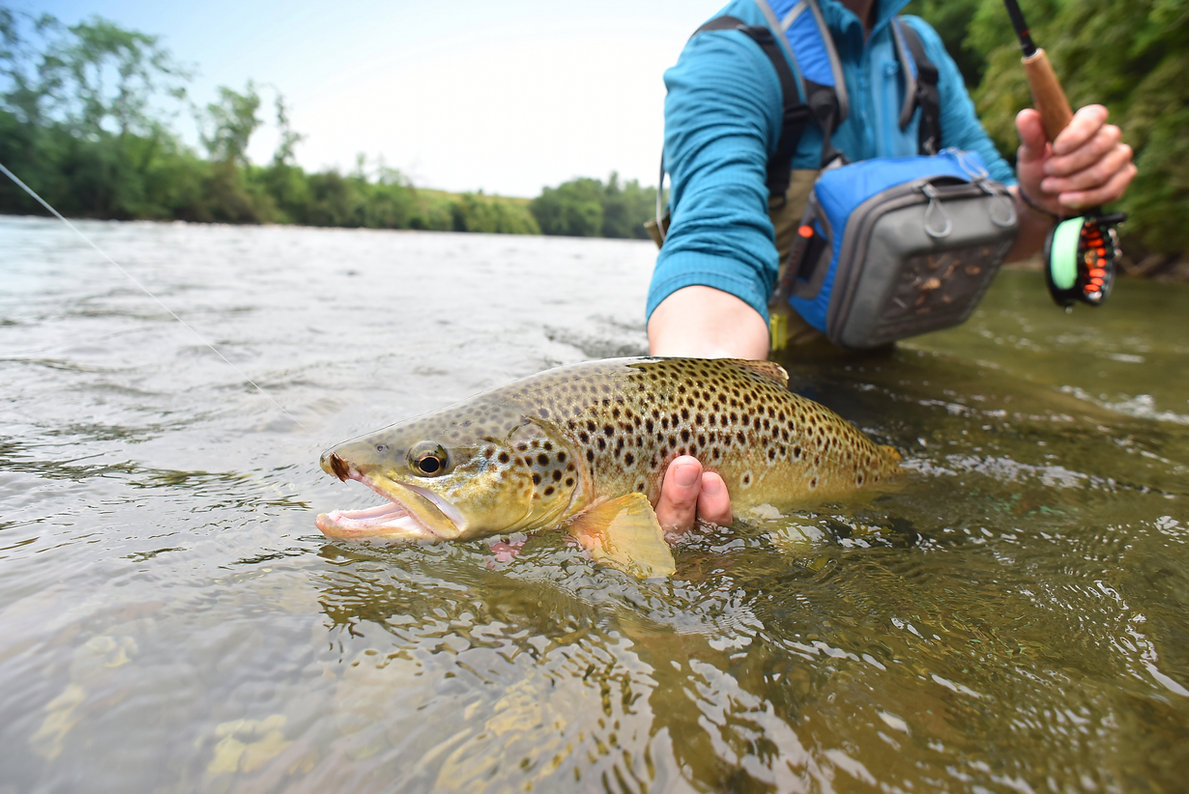 Fly-fisherman holding brown trout out of