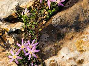 """Have you spotted the """"Sitvanit HaYoreh"""" - Meadow Saffron Flower?"""