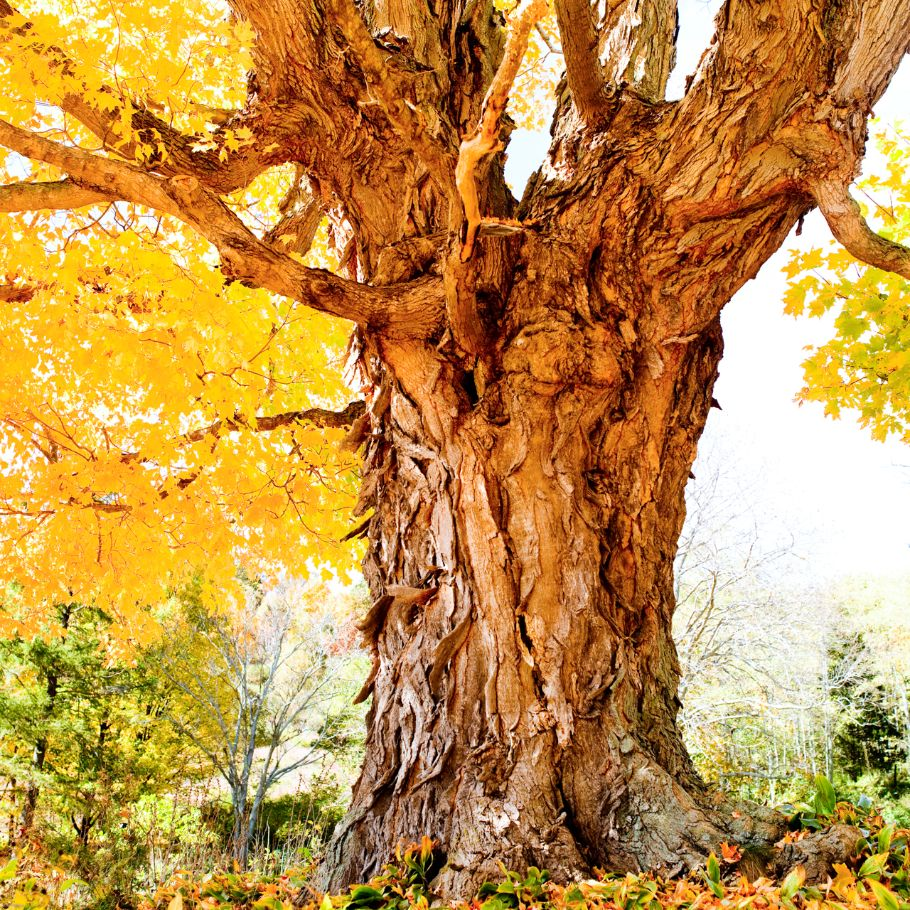 Gnarled Maple