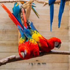 Siamese Parrot