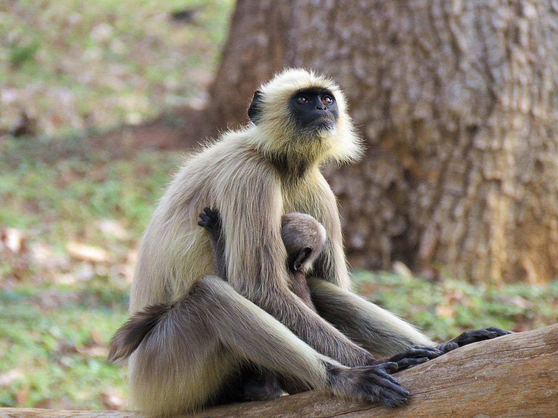 Scimmia con baby al Nilgiri National Park_edited