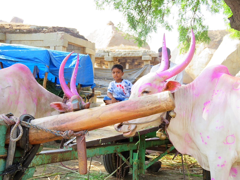 Mucche sacre colorate in in Hampi Vijayanagar in Deccan_edited