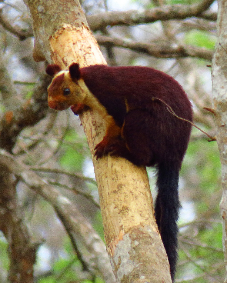 Mangusta al Bandipur National Park_edited