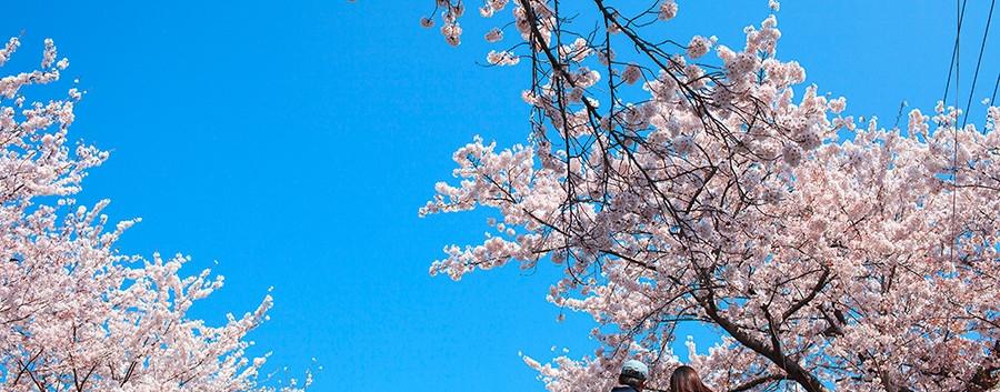 Jinhae Cherry Blossom-02.jpg