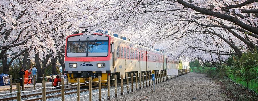Jinhae Cherry Blossom-03.jpg