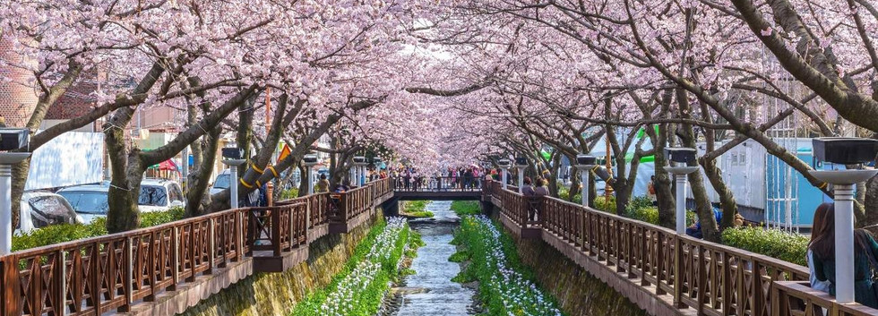 Jinhae Cherry Blossom-01.jpg