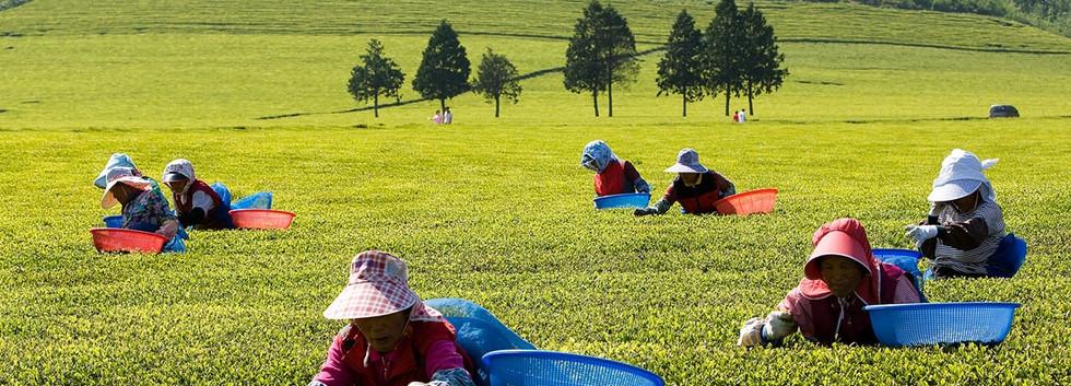 Boseong Tea Plantation-01.jpg