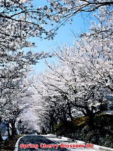 Spring Cherry Blossom-02.jpg