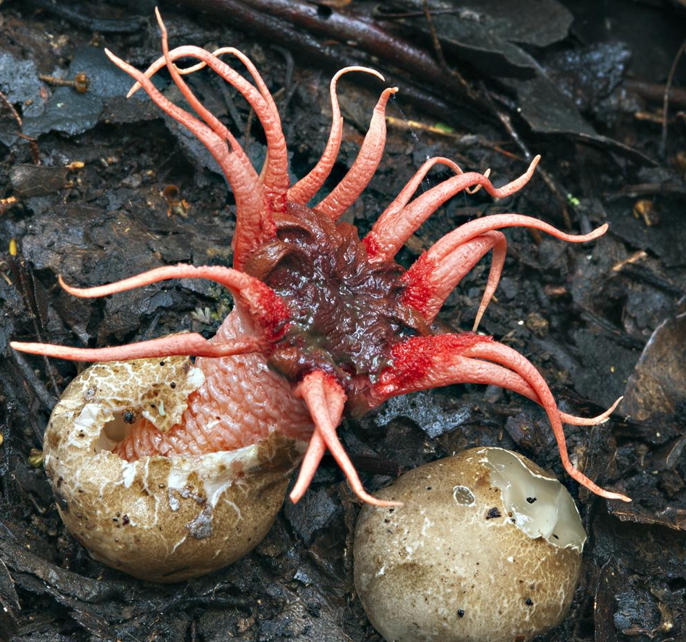 Tasmanian Fungi - Aseroe rubra