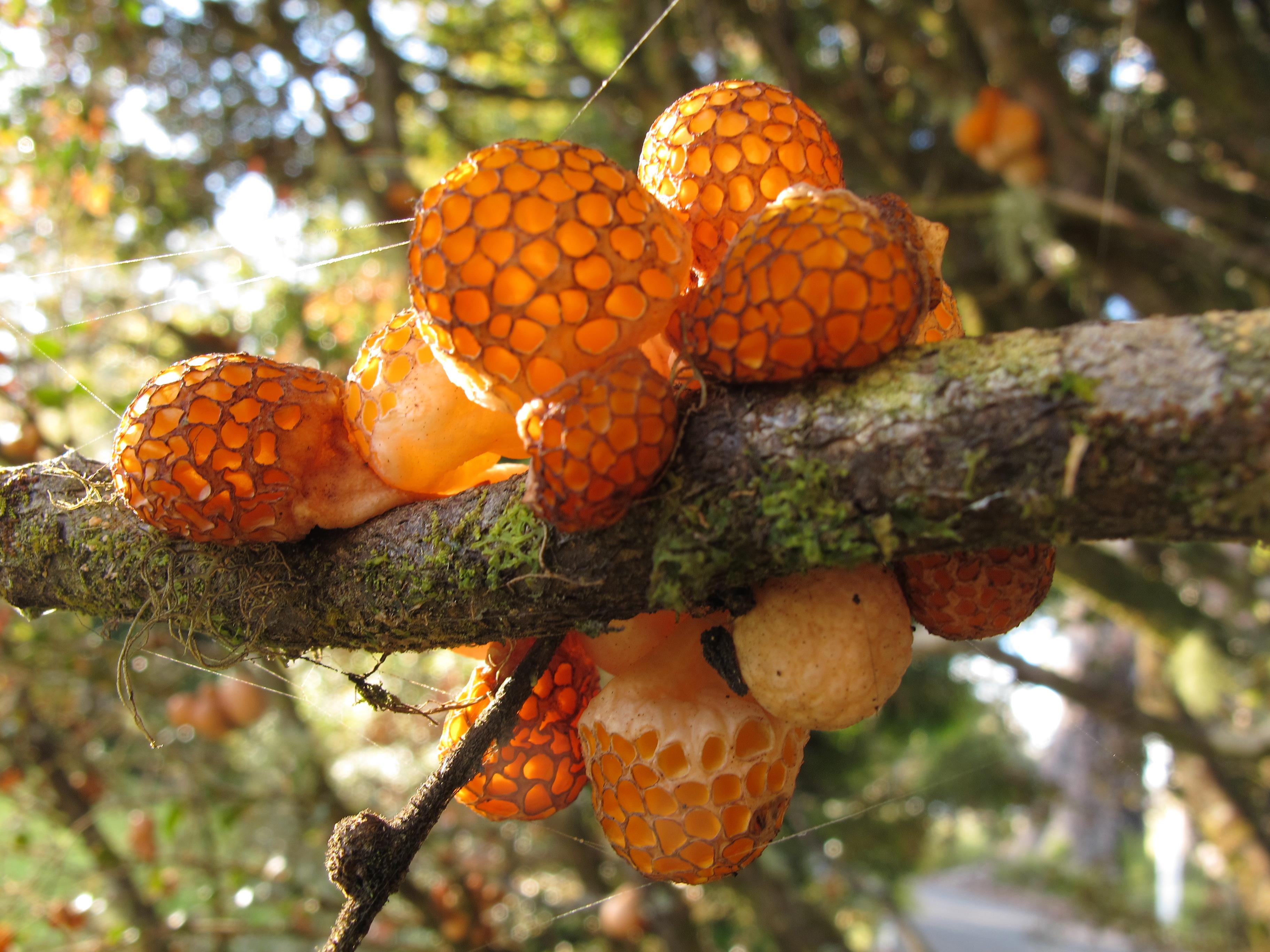 Tasmanian Fungi - Cyttaria gunnii